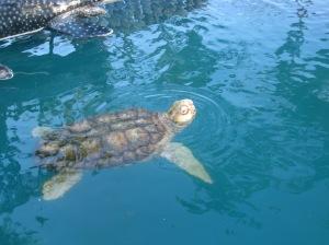Uma das tartarugas marinhas <3