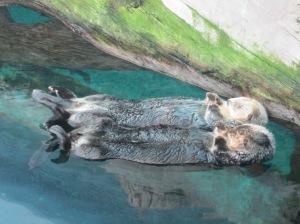 As lontras estão sempre boiando