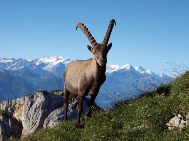 Cabra montanha suíça
