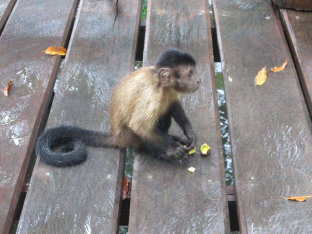 Macaco Amazônia Guia Aleatório de Turismo